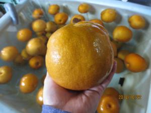 梨酢へ使用する「梨」まんまると大きいです。
