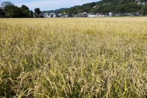 平川さん家の玄農薬玄米