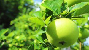 青森県産青りんご