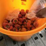 松本早生富有柿